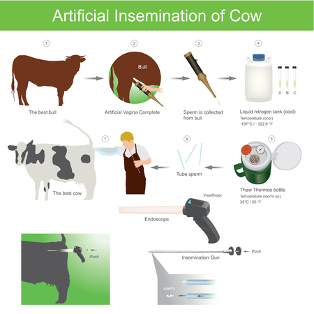 Artificial insemination is a very common practice in the agriculture world. It involves using collected semen to breed an versus using a bull  to provide the breeding services. The semen is kept frozen in straws. livestock farm. Veterinary Care Illustration. Иллюстрация
