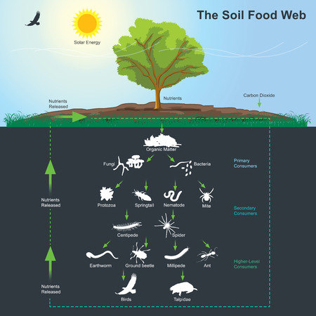 Information graphic of soil food web Illustration.