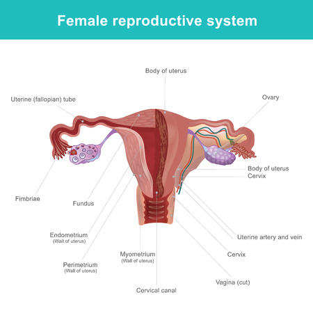 The female reproductive system (or female genital system) Vector illustration. Stock Illustratie