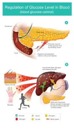El páncreas responde al nivel alto de glucosa secretando insulina. Las células alfa del páncreas liberan glucagón a glucógeno (en caso de niveles bajos de glucosa en los vasos sanguíneos). Ilustración de vector