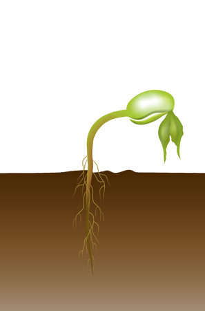Seed germination is a process by which a seed embryo develops into a seedling. It involves the reactivation of the metabolic pathways that lead to growth and the emergence of the radicle or seed root and plumule or shoot.
