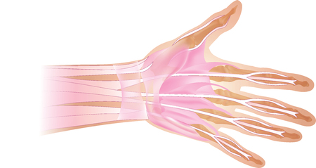 Anatomy of human hand and fingers bones. Top view.  イラスト・ベクター素材