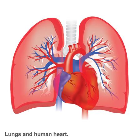 Infografik Anatomie der Lunge und des menschlichen Herzens.