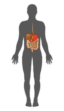 The human digestive system consists of the gastrointestinal tract plus the accessory organs of digestion. In this system, the process of digestion has many stages.