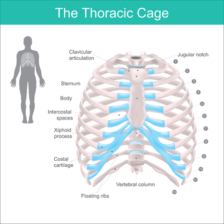 Thoracic cage is made up of bones and cartilage along, It consists of the 12 pairs of ribs with their costal cartilages and the sternum. Illustration human bones.