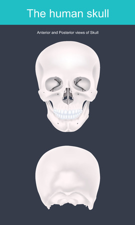 The human skull is the bony structure that forms the head in the human skeleton. It supports the structures of the face and forms a cavity for the brain.