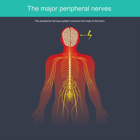 El sistema nervioso periférico conecta el cuerpo con el cerebro.