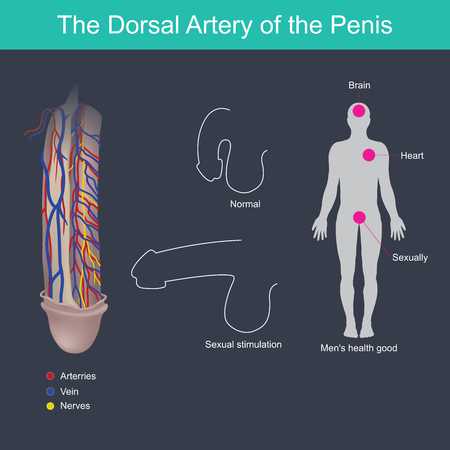 The penis will harden when stimulated from the brain and blood pressure from the heart.