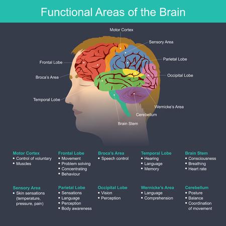 Le cerveau joue un rôle important dans la régulation de la fonction des organes du corps, du système nerveux, de la mémoire, de la vision, de l'audition, de la parole, de la respiration, du mouvement, de la sensation, de l'analyse et autres.