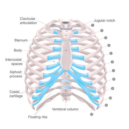 La gabbia toracica è costituita da ossa e cartilagine lungo, Consiste delle 12 paia di costole con le loro cartilagini costali e lo sterno. Illustrazione ossa umane. Vettoriali