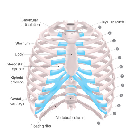 Thoracic cage is made up of bones and cartilage along, It consists of the 12 pairs of ribs with their costal cartilages and the sternum. Illustration human bones. Stock Illustratie