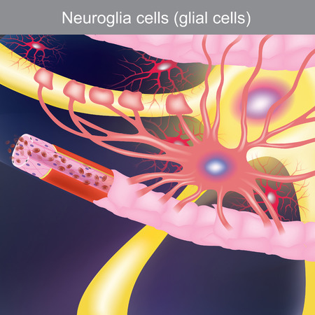 The duty is to treat the central nervous system, bringing food and oxygen to the nerve cells.
