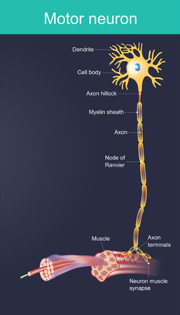 Motor neurone is a cell body is located in the brain, or the spinal cord. Duty directly or indirectly control organ, mainly for muscles and gland.
