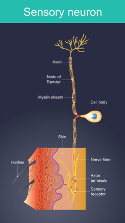 Cells act as external stimuli in different environments. change to act as internal stimuli.  When the senses are sent signal information to the nervous system. Which will eventually reach the brain or spinal cord.