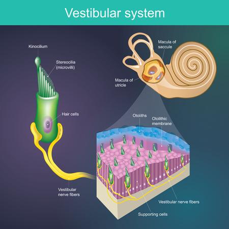 Ein Organ, das das Gleichgewicht des Körpers bestimmt. Und die Richtung des Körpers. Vestibuläres System Es ist Teil des Hörsystems des Säugetiers.