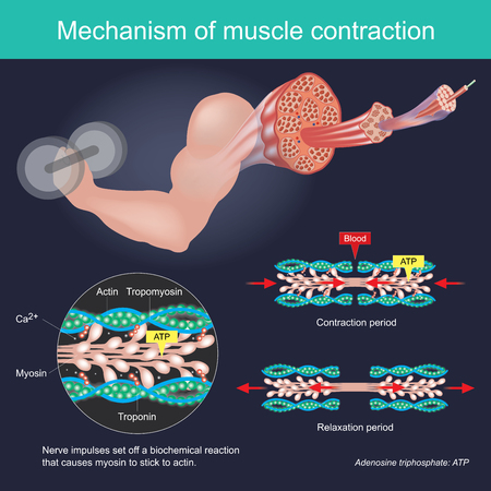 The muscle contraction as a result of Nerve impulses set off a biochemical reaction that causes myosin to stick to actin. Human body infographic.