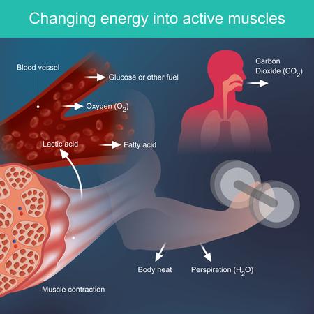 El cuerpo utilizará los nutrientes que proporcionan energía al hacer ejercicio, según factores del sistema sanguíneo y principalmente de los músculos, se liberan desechos como la transpiración y el calor.