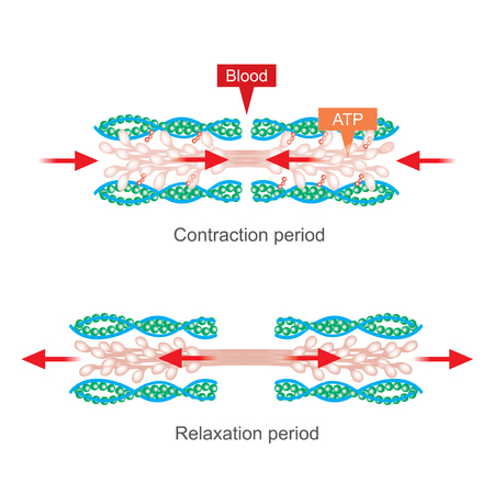 La contraction musculaire due aux impulsions nerveuses déclenche une réaction biochimique qui fait que la myosine adhère à l'actine. Infographie du corps humain.