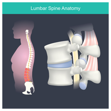 The lumbar spine refers to the lower back, where the spine curves inward toward the abdomen in human. Illustration