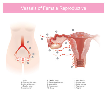 Shows about the blood vessels in the female genitals that are related to the menstrual. Human anatomy infographic. Illustration