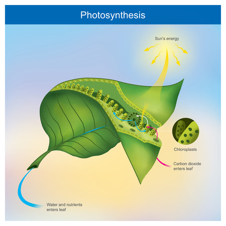 Photosynthese ist ein Prozess, den Pflanzen und andere Organismen verwenden, um Lichtenergie in chemische Energie umzuwandeln.