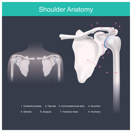 Shoulder, arm, humerus head, joint, scapula, humerus, labrum, biceps, muscle, department of orthopaedics, pain, fatigue, cartilage, strong, calcium, fitness, collagen, blade, pain, ligament, biceps, muscle, healthcare, body, healthy, disease, diagram, collarbone, orthopaedic, normal, science, accordion, clavicle, medicine, joint, injury, scapula, bone, arm, humerus, health, illustration, medical, human, shoulder, anatomy