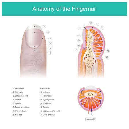 This is Illustrated anatomy of the fingernail, and a component of human fingers.  イラスト・ベクター素材