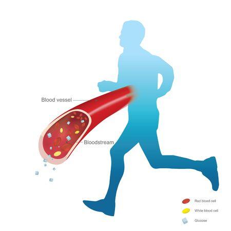 Utilisation d'hormones glucocorticoïdes et aide à augmenter la glycémie. Rétention du sodium et de l'eau par les reins. Augmentation de la glycémie pour l'énergie tout au long de la journée. Illustration.