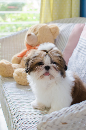 shih tzu: Cute shih tzu is sitting on sofa