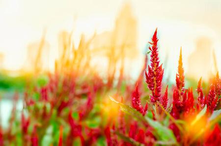 celosia: Celosia flower at sunrise
