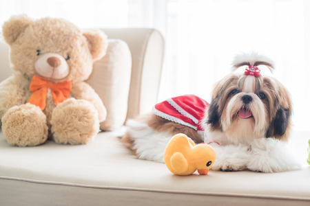tzu: Cute shih tzu puppy is sitting on sofa with vintage image style Stock Photo