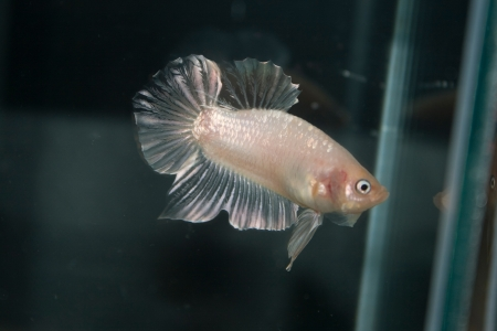 betta: The Betta. Stock Photo