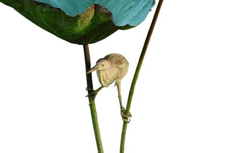 ardeidae: Yellow Bittern