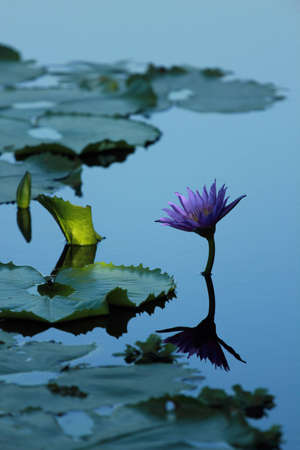 A Pond With Purple Lotus (look calm)  Stock Photo