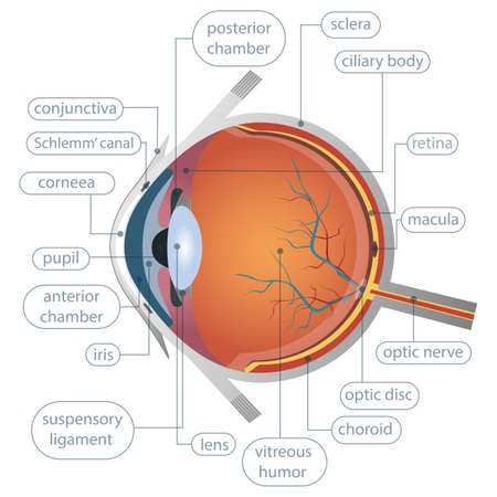 Human eye anatomy vector design illustration isolated on white background Ilustración de vector
