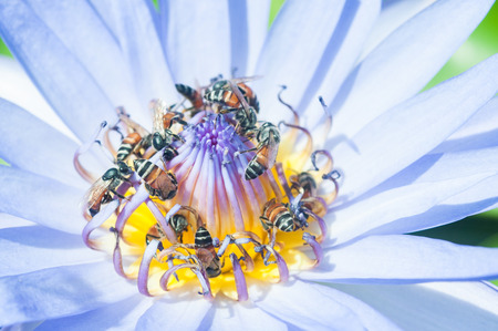 Close up of many bees on the lotus flower photo
