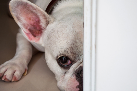 ugliness: Sad and Hidden Dog French Bulldog Stock Photo