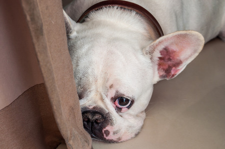 ugliness: Sad and Lonely Dog French Bulldog