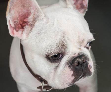 rival: French Bulldog looking at his rival