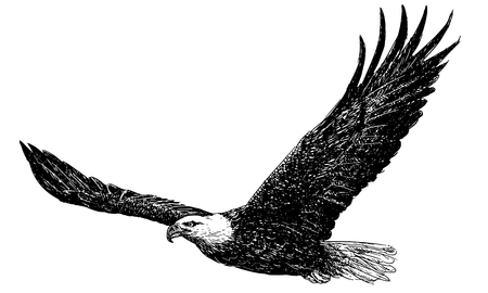 Bald eagle flying hand draw monochrome on white background illustration vector.