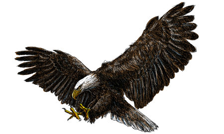 hawks: Bald eagle swoop landing draw and paint on white background illustration vector.