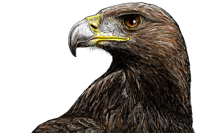 golden eagle: Golden eagle head hand draw and paint on white background vector illustration.