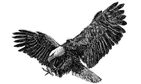 aguila calva: �guila calva sola vez aterrizaje empate en blanco y negro sobre fondo blanco ilustraci�n vectorial.