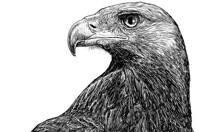 aigle royal: Golden eagle tête la main tirage monochrome sur fond blanc illustration vectorielle.