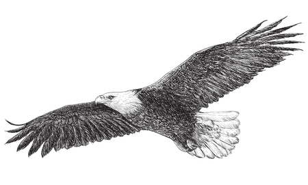 draw: Eagle flying hand draw monochrome on white background vector illustration.