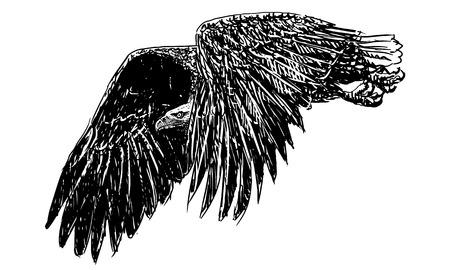 bald eagle: Bald eagle flying hand draw monochrome on white background vector illustration.