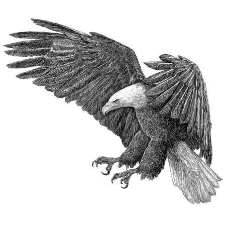 swoop: Bald eagle swoop draw on white background illustration vector.