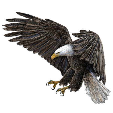 Bald eagle swoop draw and paint on white background illustration vector. Vectores