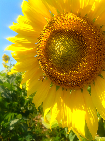 polen: Sun flower blooming close up on field in day time.