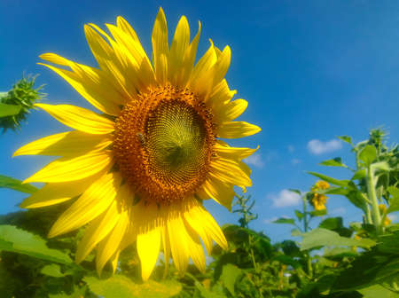 day time: Sun flower blooming on field in day time.